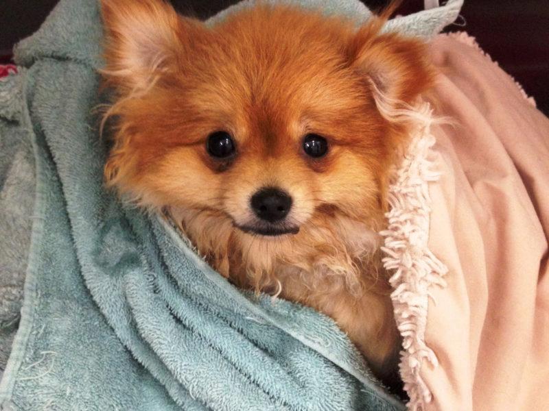 Peach the Pomeranian 1
